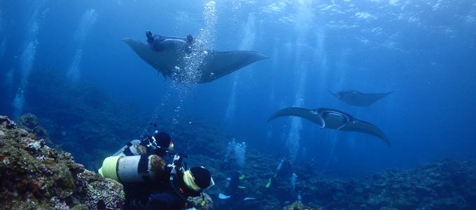 石垣島のダイビングはマンタ遭遇率が高い