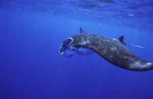 石垣島の冬は黒島捕食中のマンタ