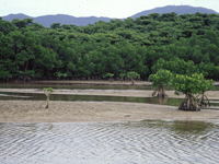 石垣島北部マングローブ