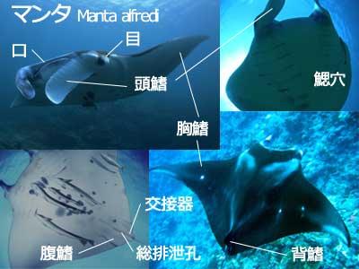石垣島のマンタの生態イラスト