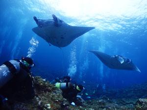 石垣島のマンタ2匹とダイバー